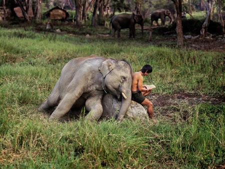 Elephant and Man Reading, Chiang Mai, Thailand, 2010  THAILAND-10033,