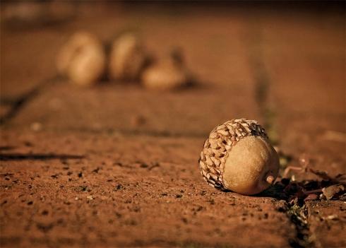 acorn_2