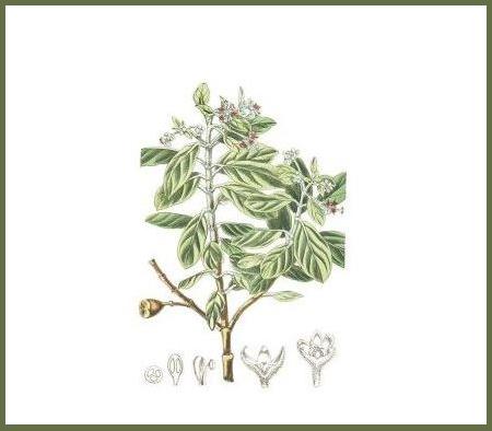 st. helena olive_2
